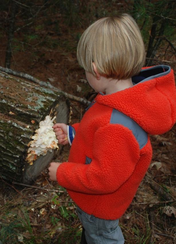 Chicken of the Woods - Swan Island, Maine